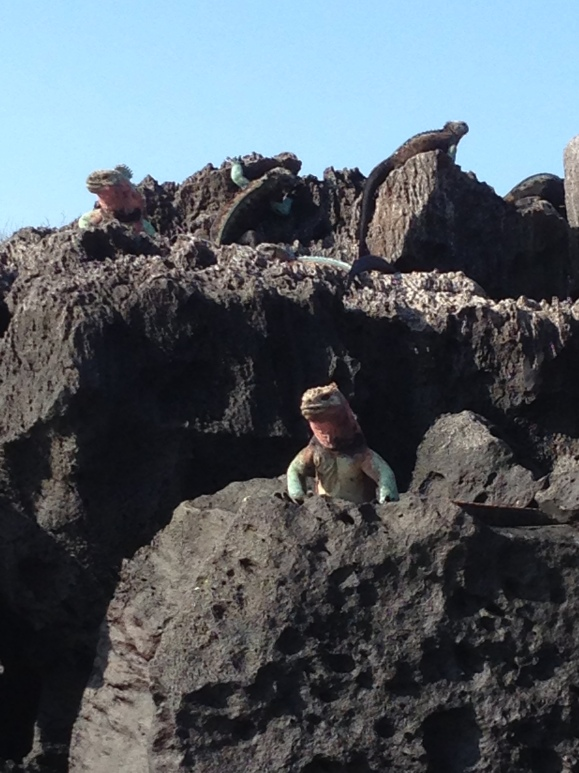 Marine iguanas of Española