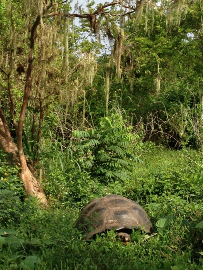 Tortoise on Santa Cruz
